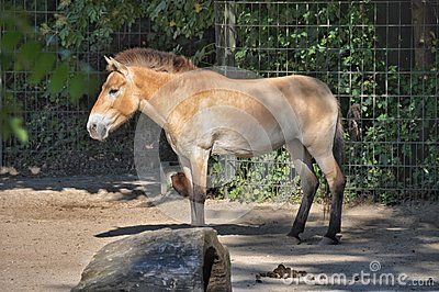 a mule is an example of hybrid sterility